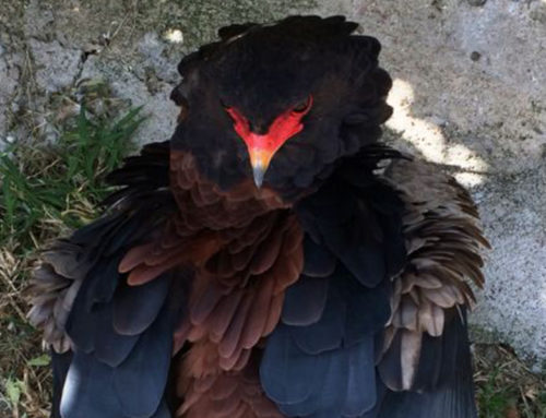 Bateleur Eagle Moody Expressions By Elephant Herd
