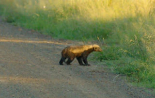 The Honey Badger's Powerful Punch