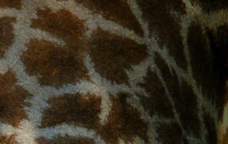 The Sceret of Giraffe's Skin By Elephant Herd Tours & Safaris