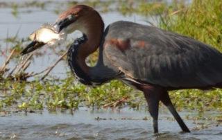 Goliath Heron Hunt