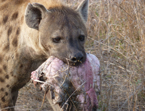 Jaws of the Hyena By Elephant Herd Tours & Safaris
