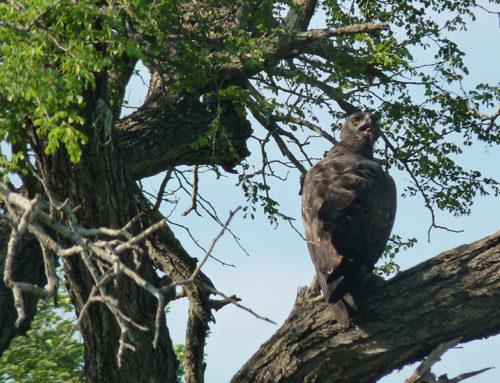 Martial Eagle By Elephant Herd Tours & Safaris